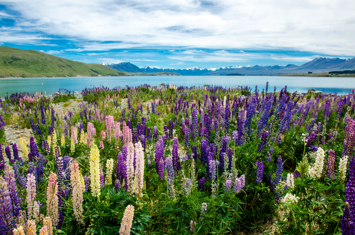 The lupins at Lake Tekapo are best in late November—early December.